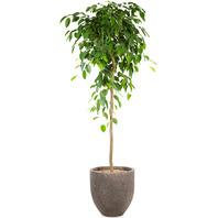 벤자민고무나무 인테리어