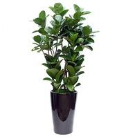 고무나무L